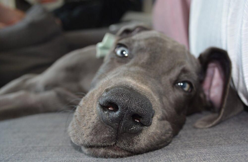 Pisarateni liigutav VIDEO | Taani dogi adopteerinud omanik ei osanud aimatagi, mis teda ees ootab ja sellest sündis imeline päästmislugu