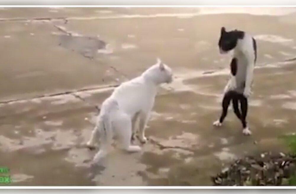 VIDEO   Pisarad silmil! Need on vaieldamatult parimad klipid kassidest, kes igal sammul oma reaktsioonidega meid üllatamast ei väsi!