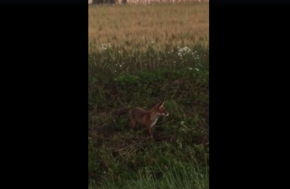 PARIMAD PALAD VIDEOKONKURSILT | Märkimisväärne ja üllatuslik tabamus Eesti metsadest!