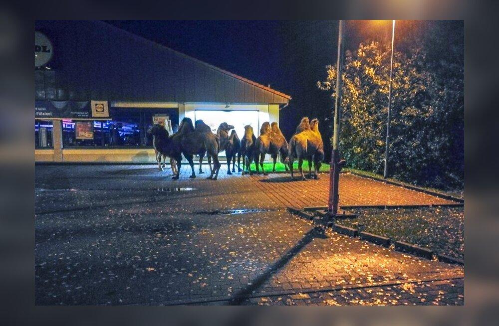 FOTO: Nii odav, et lausa loomad kohal? Saksamaa odavketi poe parklasse ilmusid kaamelid