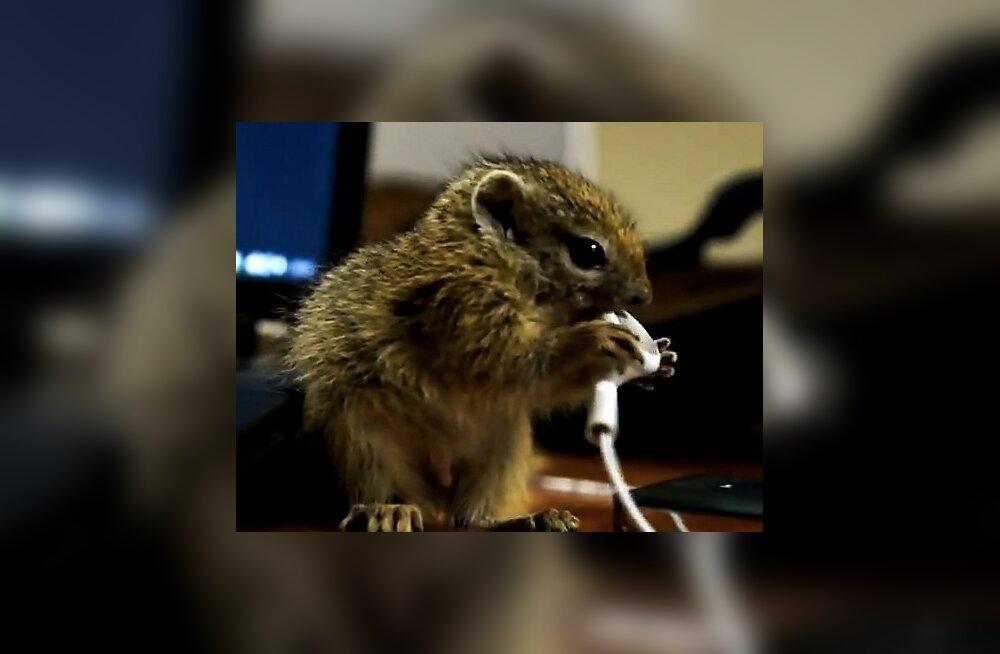 VIDEO: Väike oravapoeg sööb iPhone'i klappe