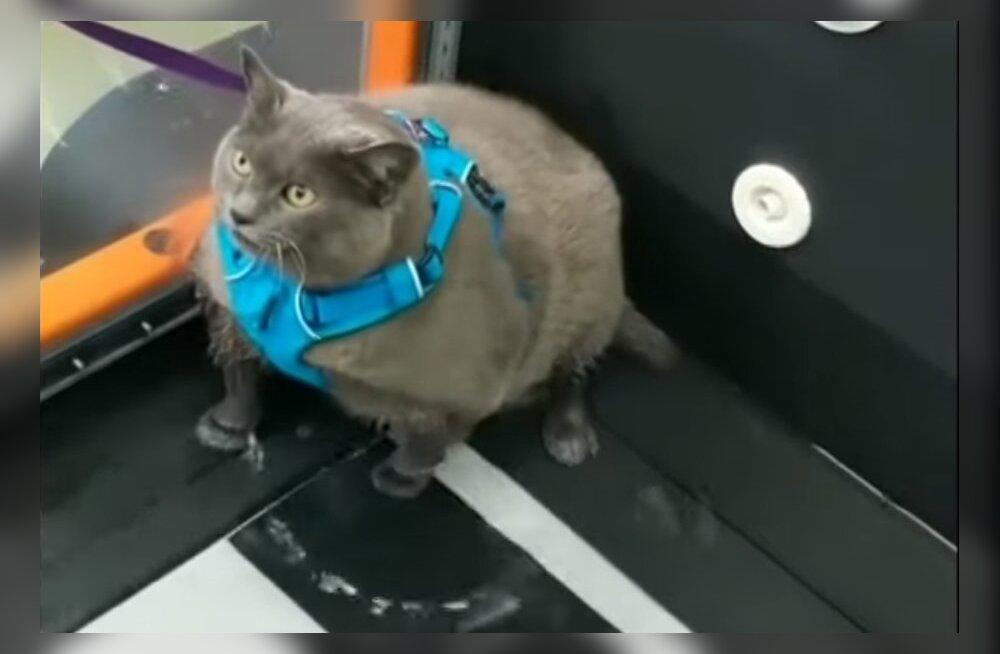 VIDEO | Jahmatavalt ülekaaluline kass võidab internetis populaarsust oma südantsoojendava treeningrutiiniga