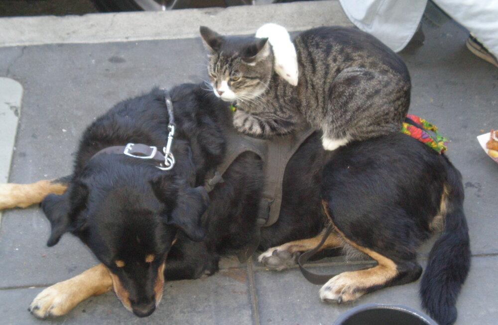 VIDEO | Hoolitsev kass teeb oma suurele sõbrale massaaži!