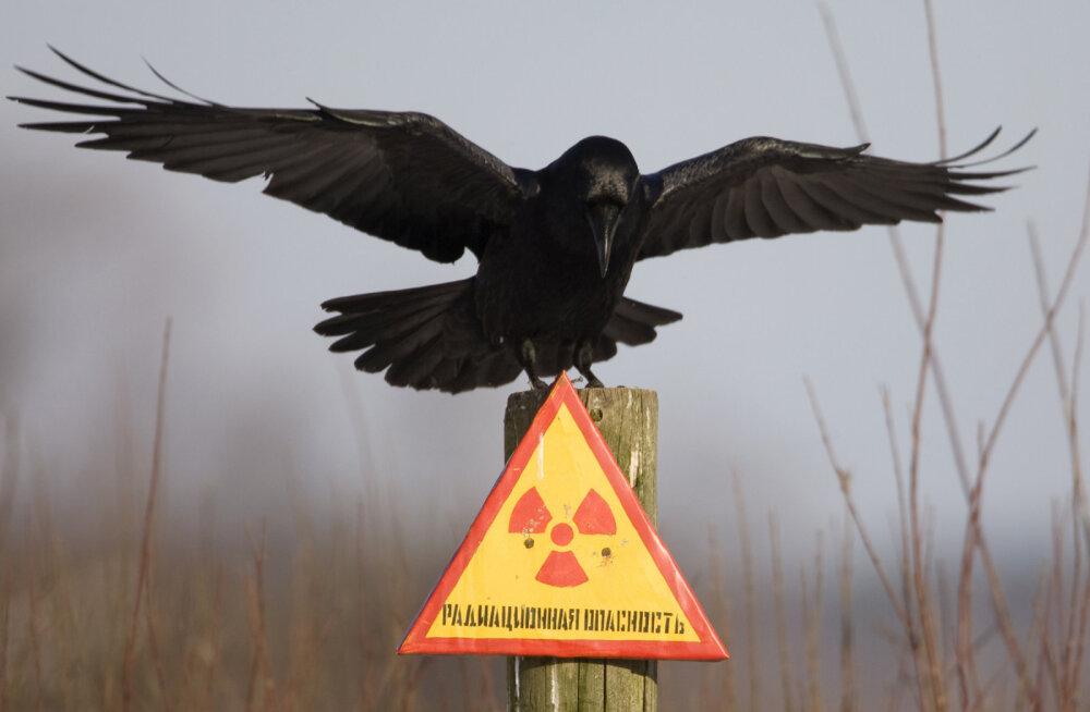 ВИДЕО: На заброшенных улицах Чернобыля живут волки и лошади Пржевальского. В чем секрет их выживания в зоне отчуждения?