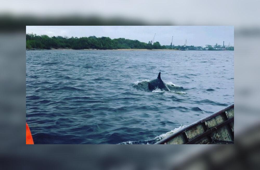 ВИДЕО: В Риге снова замечен дельфин. По мнению эксперта, это очень необычное явление
