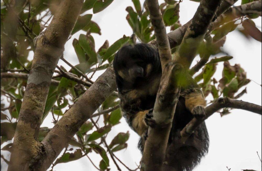 Fantastilised FOTOD   Esimesed kaadrid müstilisest ahvist, keda pole looduses juba 80 aastat nähtud