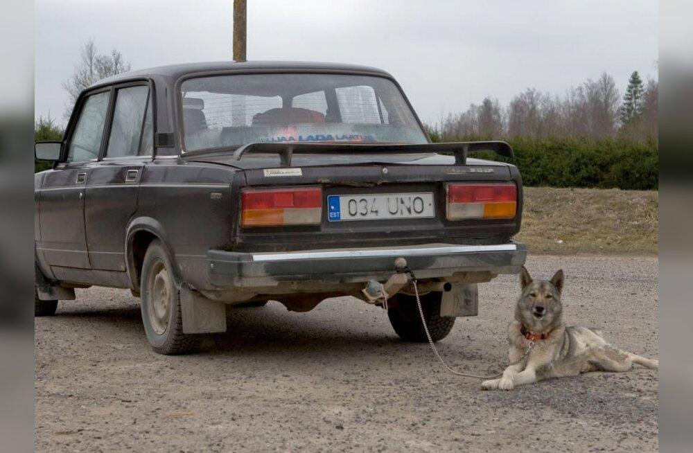 Suur loom suutis suure auto sõitu saada
