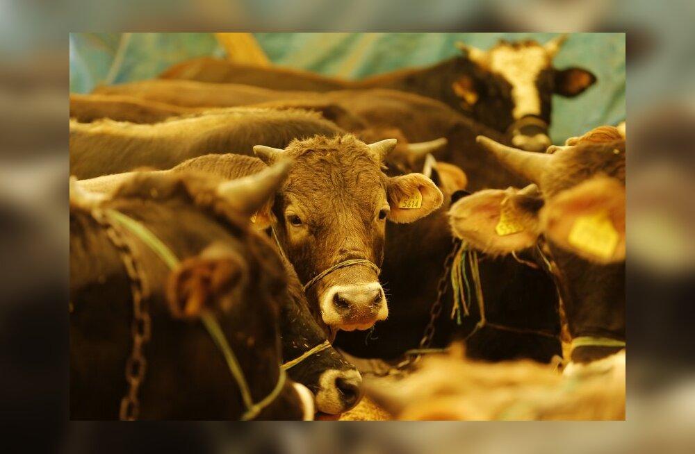 Kuhu lihatootja oma tegevuse jäägid paneb? Viis toodet, mis sisaldavad üllatuslikult veiseid