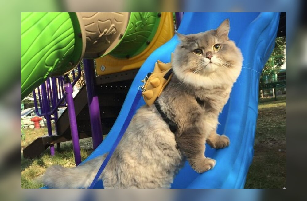 SAA TUTTAVAKS: See hiiglaslik kass on Tai kohalik kuulsus