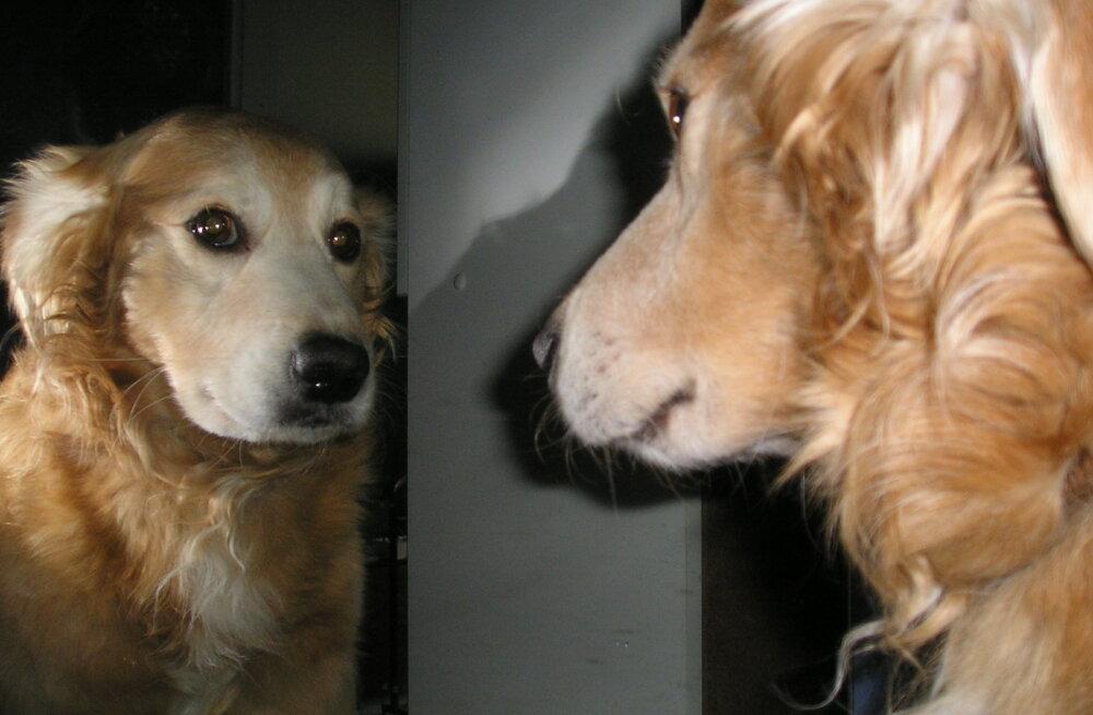 Mida näeb koer, kui ta peeglisse vaatab või selle peale haugub? Kas ta võib ennast sealt ära tunda?