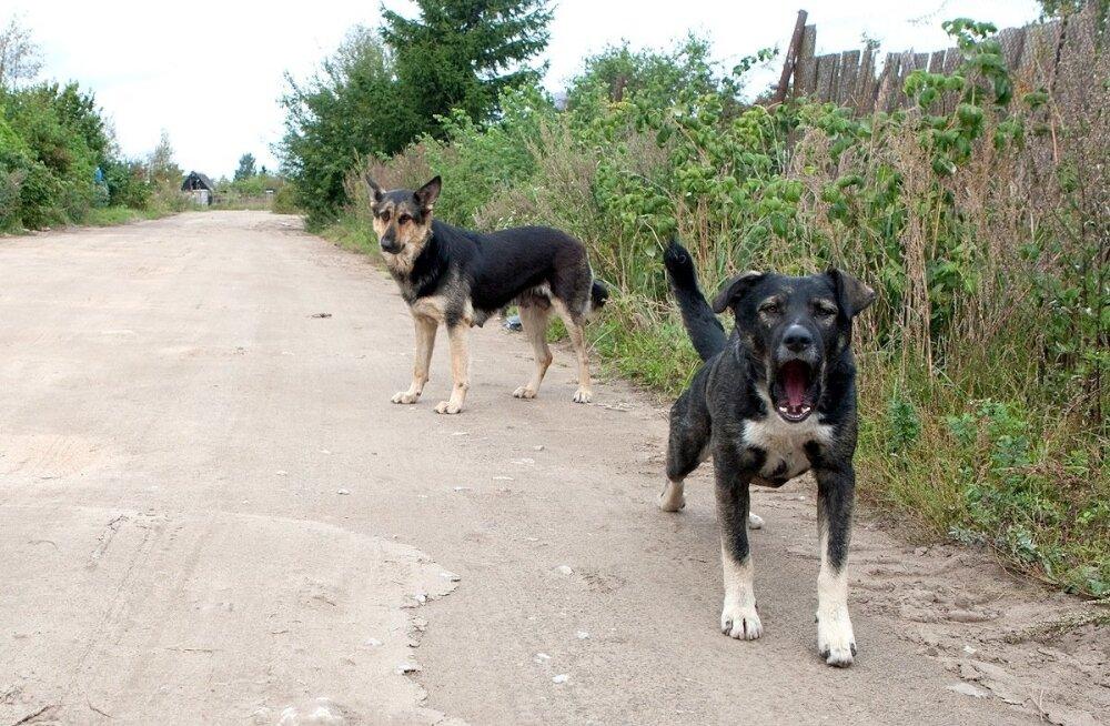 Lahtiselt peetavatel koertel on küll liigiomane avar liikumisruum, kuid paraku moodustab see ohtliku ühisosa inimeste, koduloomade ja ulukite territooriumidega.