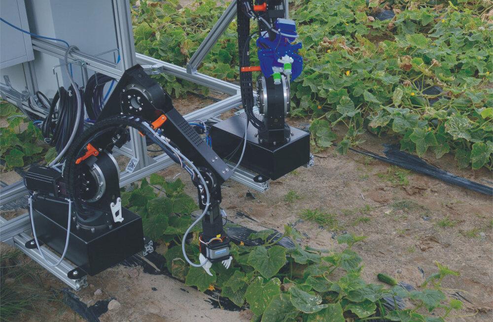 Saksamaal leiutati kõhuli kurke noppivate tööliste asendamiseks robot