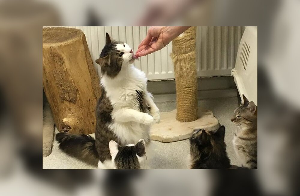 Ludeni lugu: juba 4 aastat kodu igatsenud kass võttis kätte ja astus ise turvakodusse