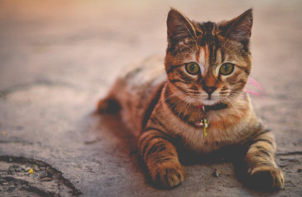 Kas hoida kassi toas või lasta ka õue: 10 ohtu, mis kassi õues varitsevad