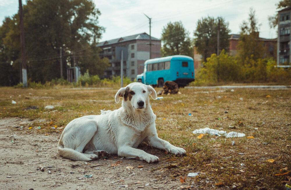 VIDEO   Saage tuttavaks Tšernobõlis veresaunast pääsenud unustatud koerte järeltulijate ja nende päästjatega