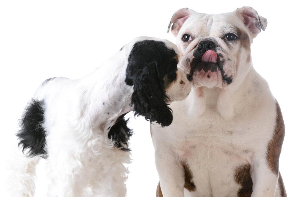 5 asja: Mida koer öelda tahab, kui ta nina pereliikme vastu hõõrub?