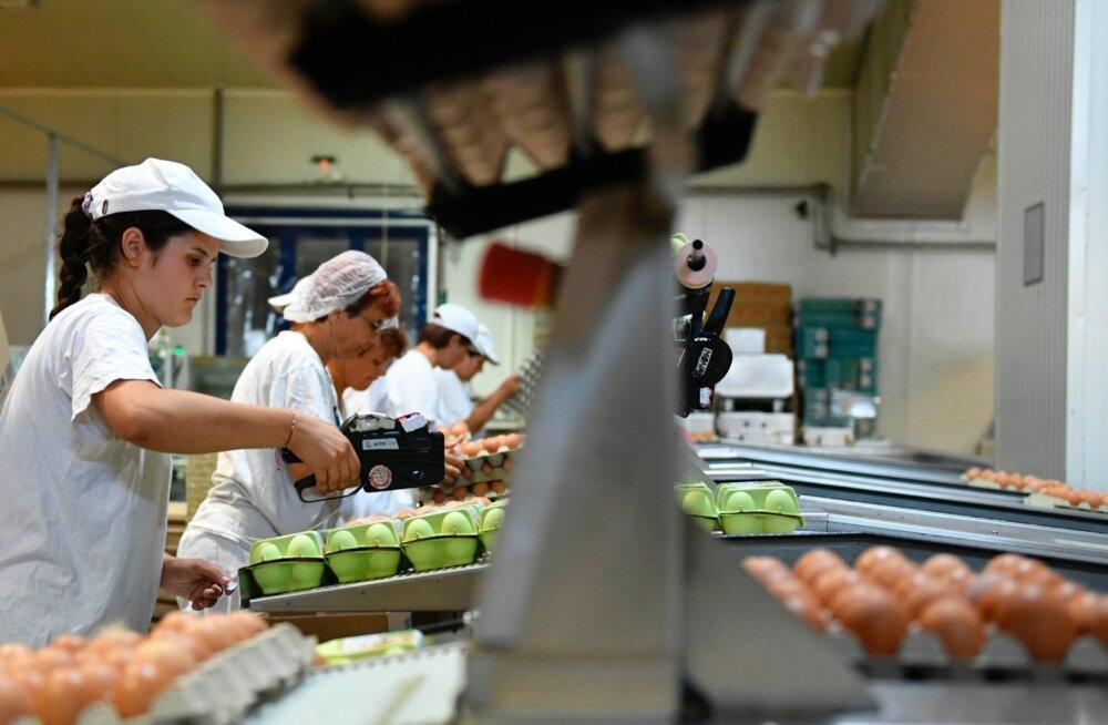 Töölised pakendavad Rumeenia tehases mune. Valitsuse teatel on riigist leitud tonn Saksamaal toodetud mürgist munavalget.