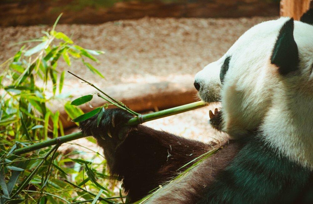 Soomlased testisid: bambus funksib hästi