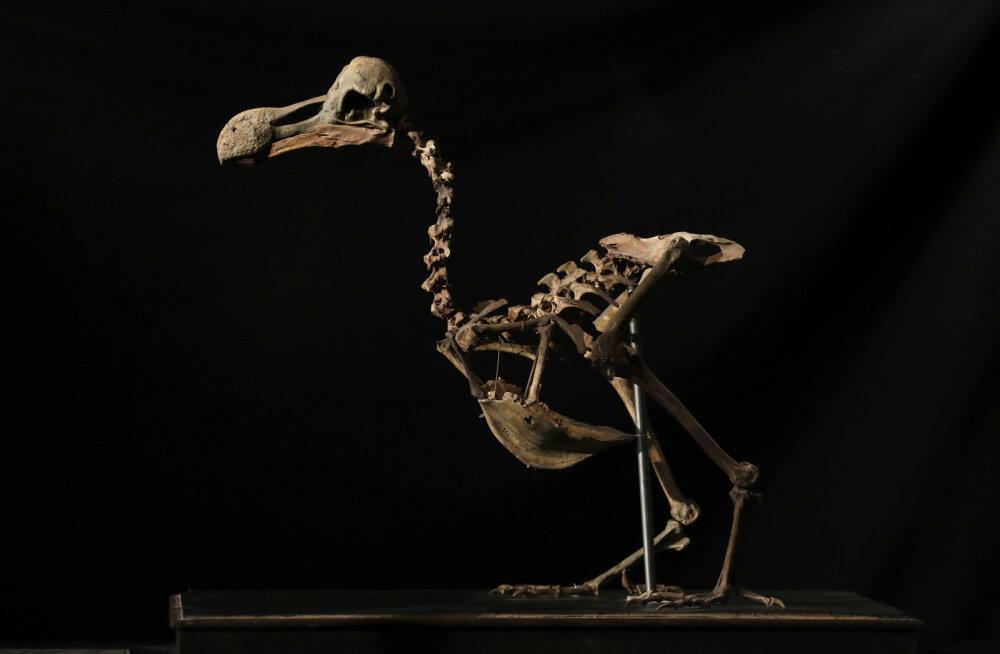 Dodo: väljasurnud linnu skeleti eest maksti oksjonil peaaegu 330 000 eurot
