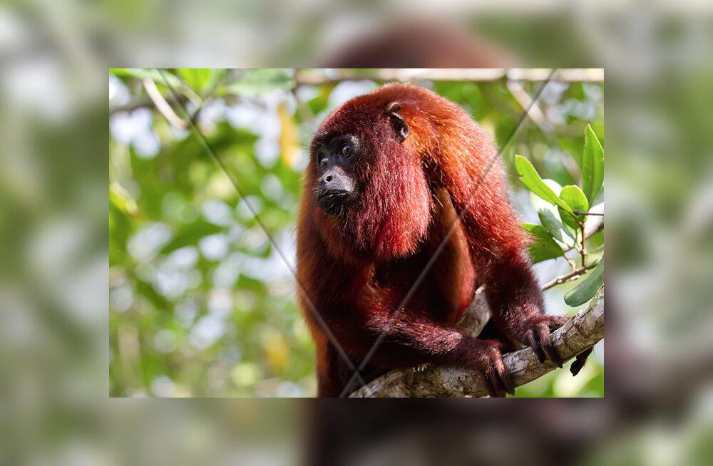 Aafrika ahvid seilasid Ameerikasse: kuidas väike rühm visasid loomi igaveseks elu ajalugu muutsid