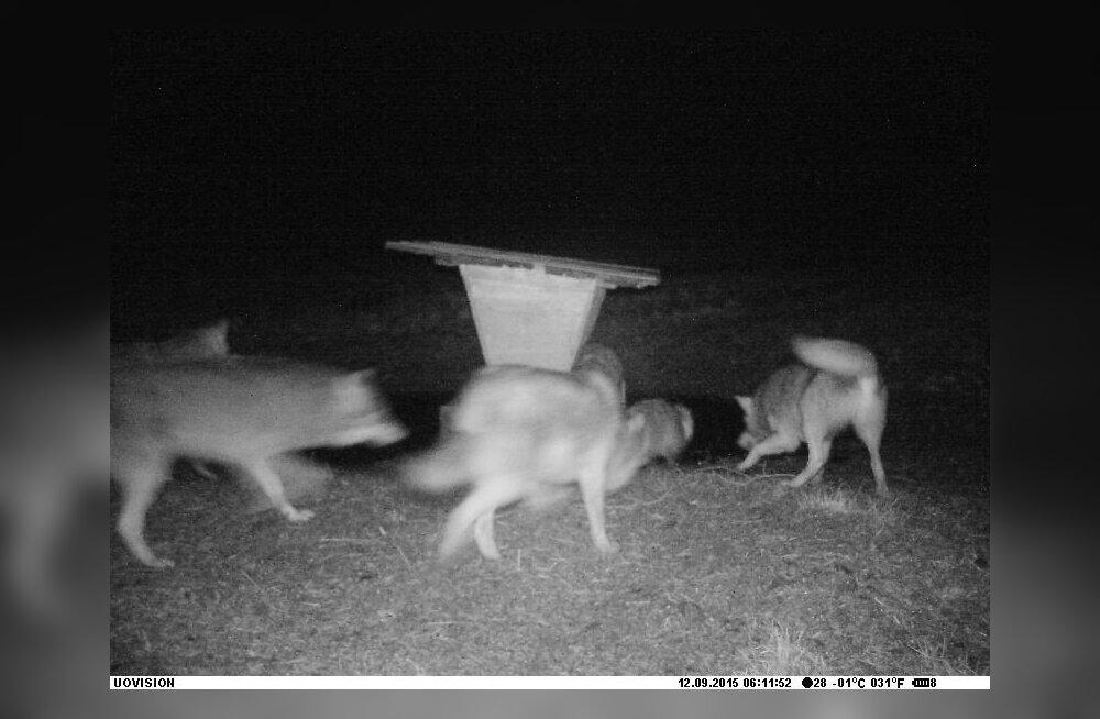 Haruldane kaader: viis hunti murravad kährikut