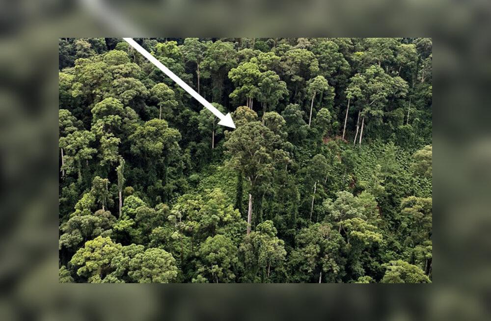 Найдено самое высокое на Земле тропическое дерево