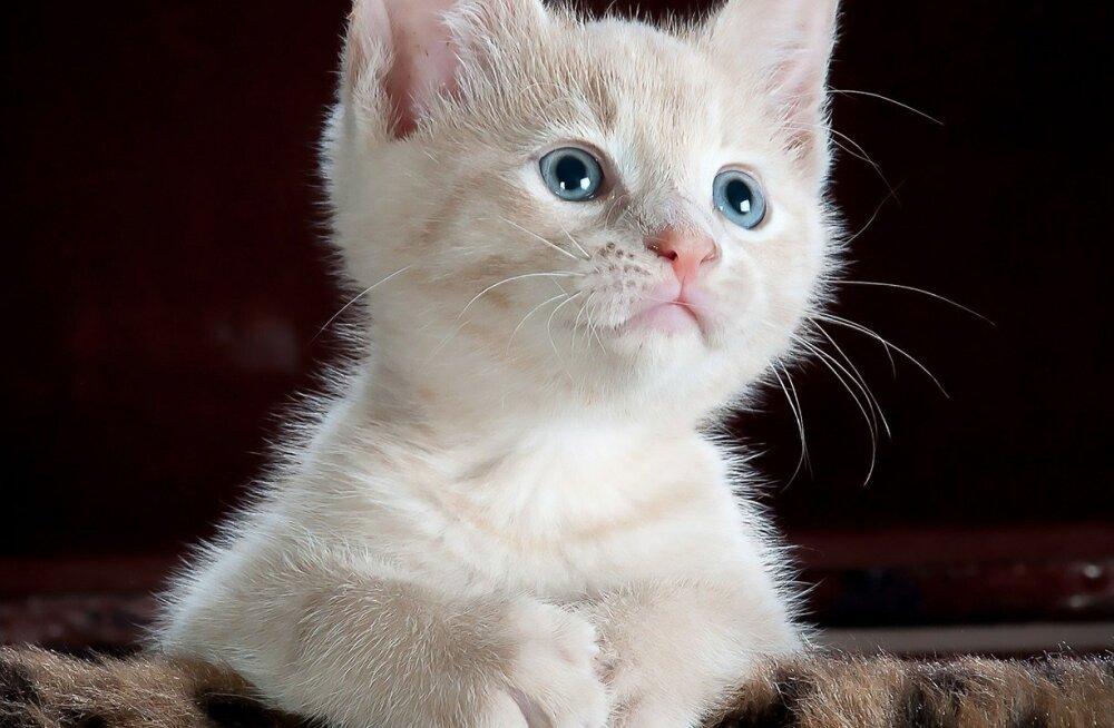 Põnev TEST: Saa teada, kui suur kassisõber sa oled. Kas oskad piltide järgi kassitõud ära arvata?