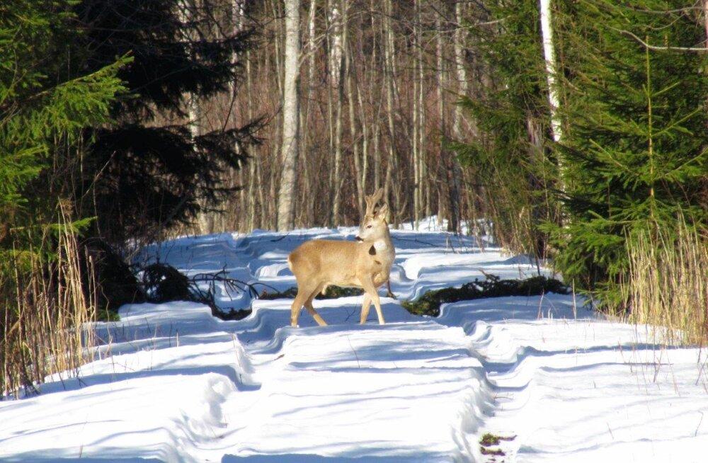Metskitsedel on kerge talv olnud