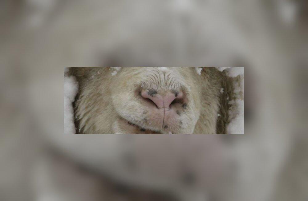 TV3: Viimsis peetakse lammast ja kanu hanges