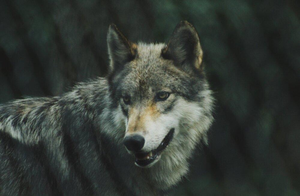 Jahimeeste selts: hunt ründas Hiiumaal kodumaja ukse juures naist
