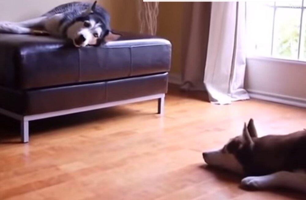 VIDEO | No küll moosib! Kui haskide jutujoru ära tõlkida võib tulemus vastupandamatult naljakaks osutuda