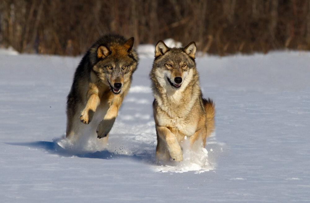 Hundid on Soomes probleem. 5,5 miljoni inimesega riigis elab umbes 235 hunti. Seda on liiga palju, ütlevad maal elavad soomlased, kelle koduloomi ja jahikoeri hundid murravad.