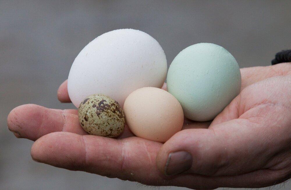 Vuti, mini serama, lavender aracauna, ristandkana munad