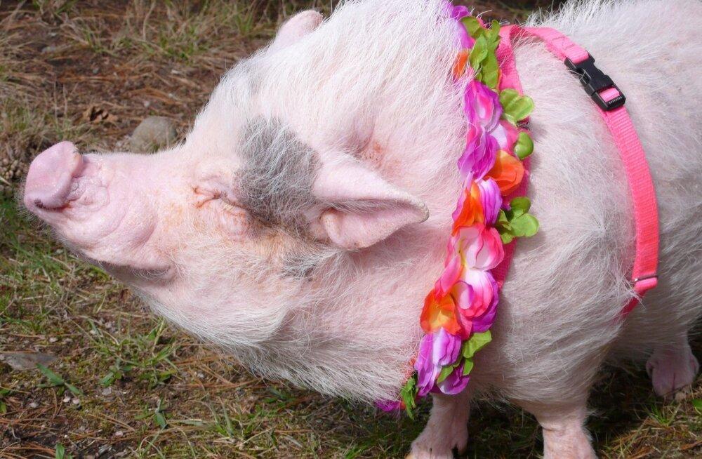 Extraordinary Animals Series 2 - Ep2 The Smartest Pig