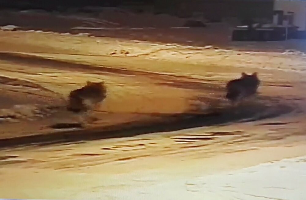 VIDEO | Kolm hunti ründavad Pürksi külas perekoera ning omanikud peletavad hundid eemale
