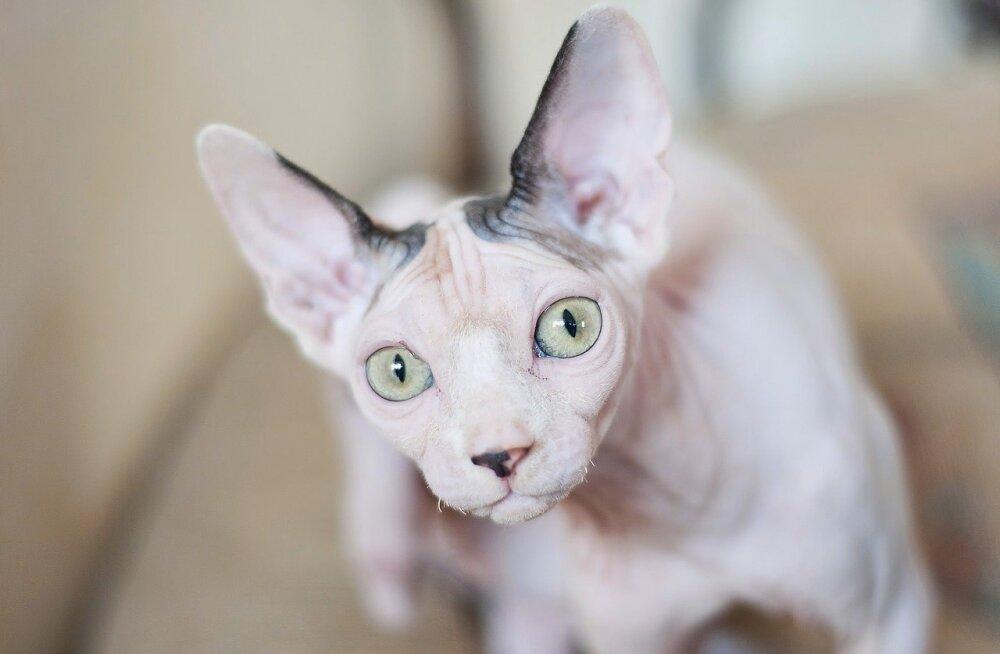 Возраст имеет значение: ТОП-10 пород кошек-долгожителей
