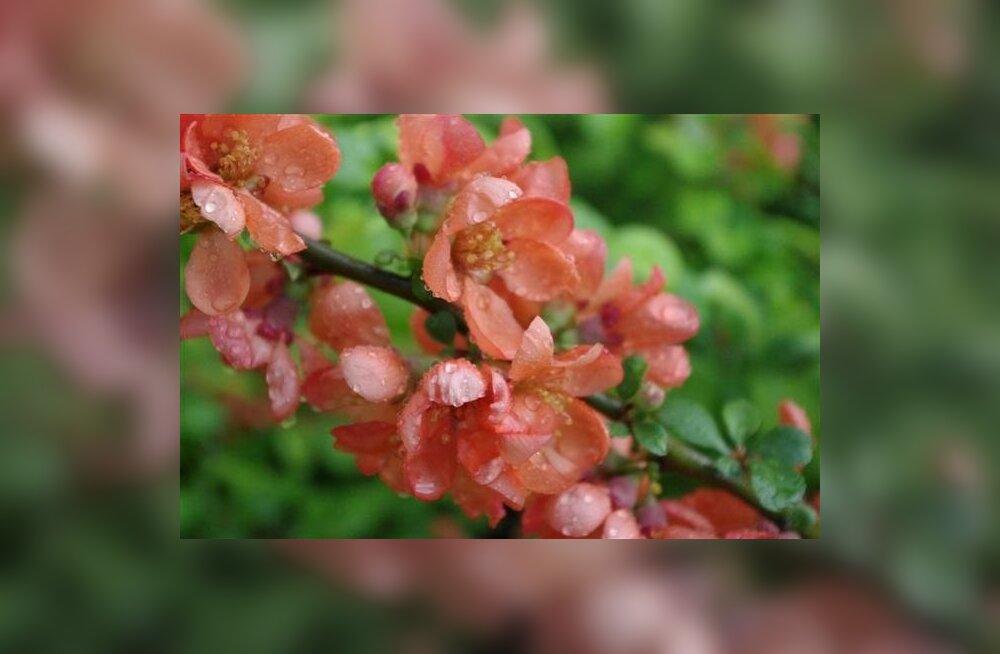 Ebaküdoonia – kena taim aiahaljastuses