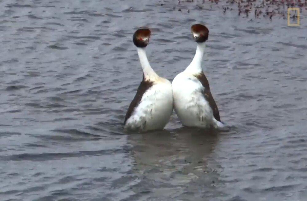 Uskumatu VIDEO | Armastus on õhus: lumipüttide kosjatants on auhinda väärt
