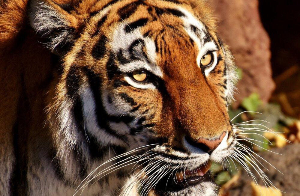 Šokeerivad FOTOD   Venemaa loomaaias ründas tiiger naissoost talitajat, jättes tolle oma elu eest võitlema