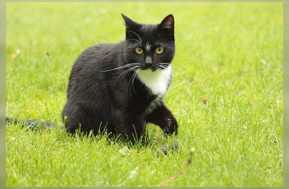 Kass Niki eriskummaline kadumine: pere leidis puhkuselt naastes oma kassi asemel eest kaks korda väiksema noore looma