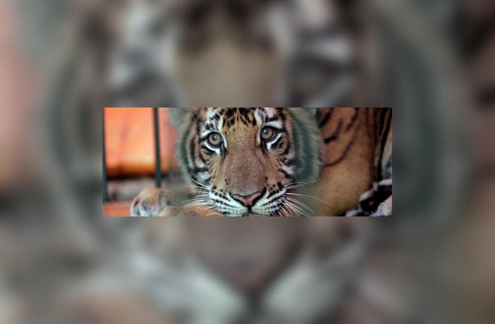 Hiina tiigreid ähvardab väljasuremine