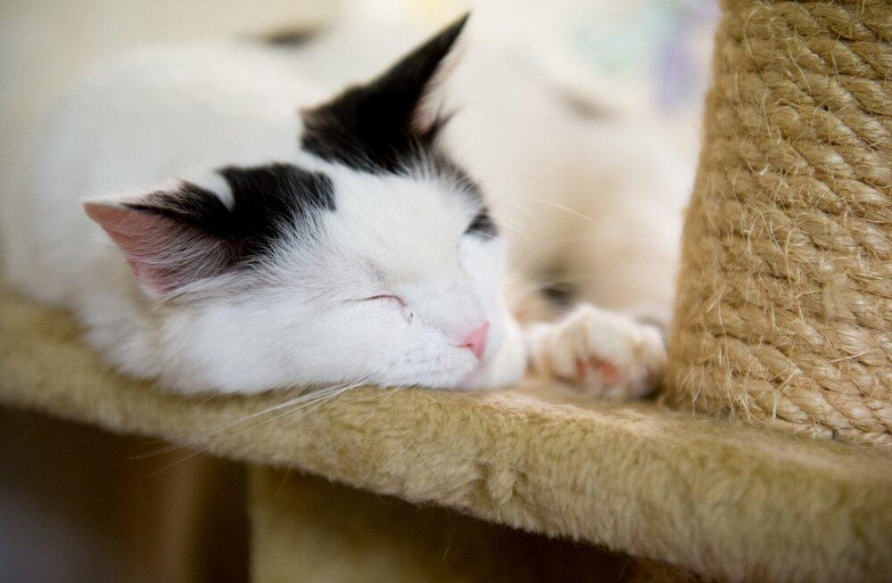 Viis kõige karmimat ja ohtlikumat kasside haigust, mille eest iga omanik oma lemmikut kaitsma peaks