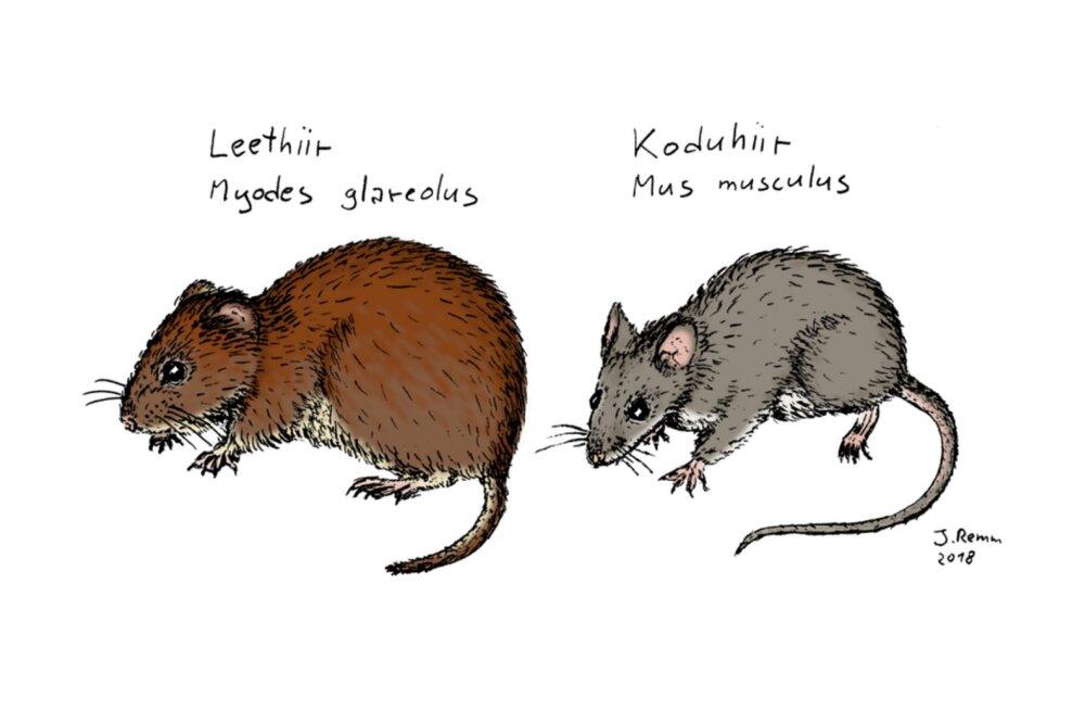 Õpi tundma! Eesti levinuimad hiired - koduhiir ja leethiir