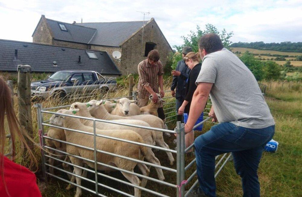 Eesti lammaste aretuspopulatsioon sai Suurbritanniast tubli täienduse