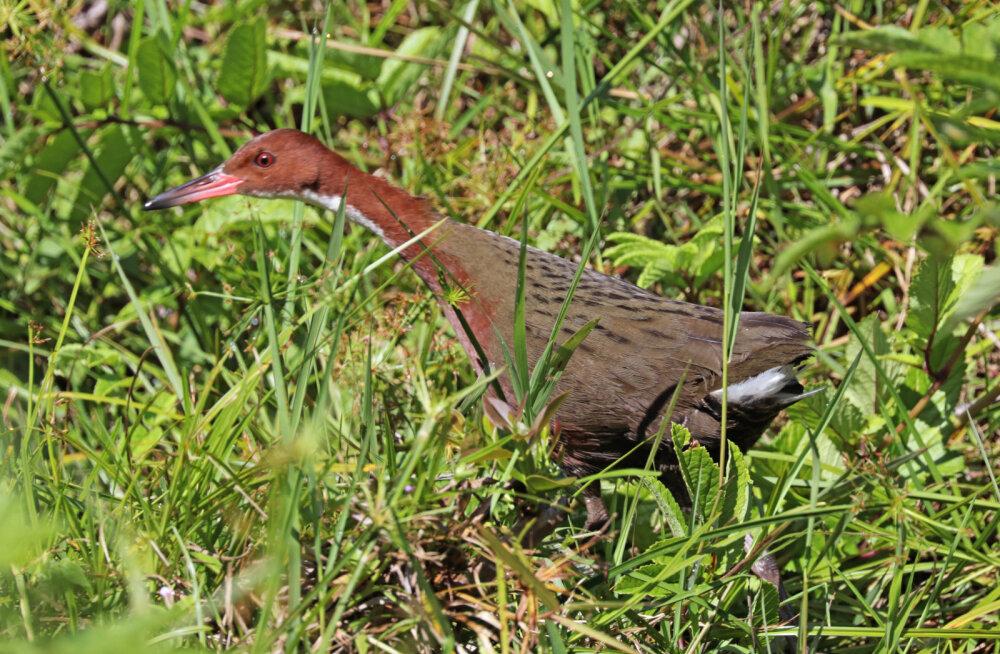 136 000 aastat tagasi välja surnud lind tuli huvitaval moel tagasi