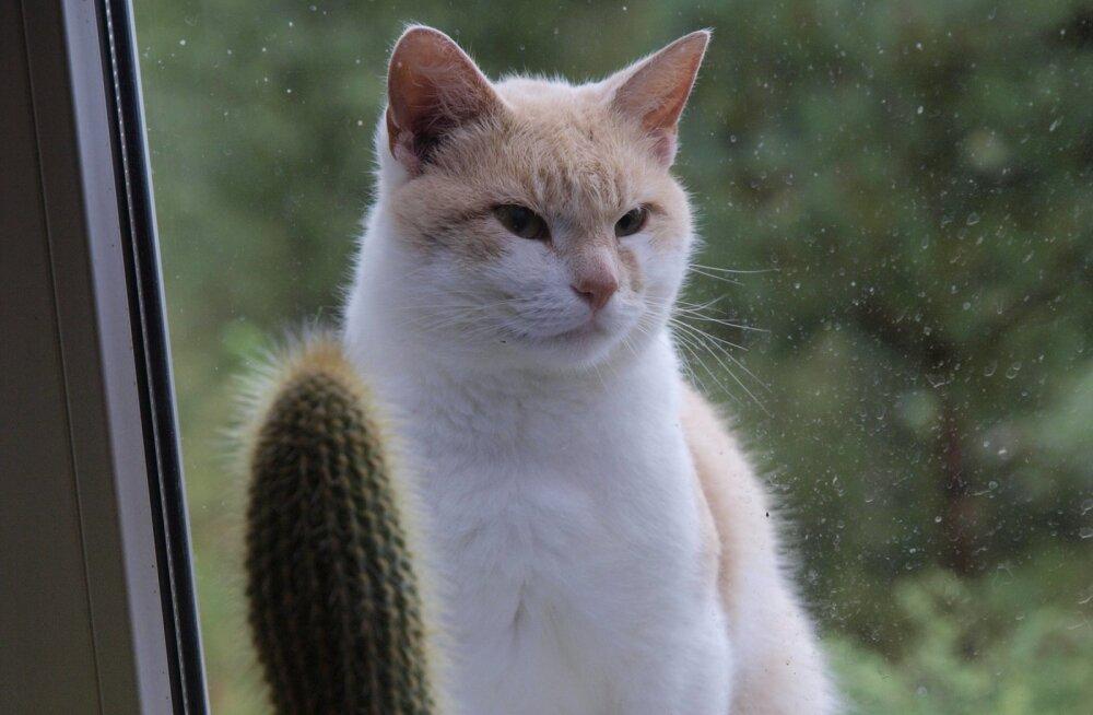Valge kollakas kass