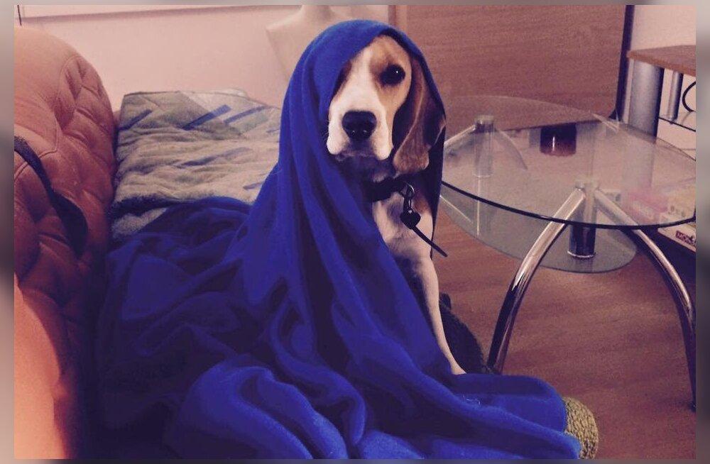 Vallatu beagle Bella — koer, kes ei taha kunagi üksinda olla