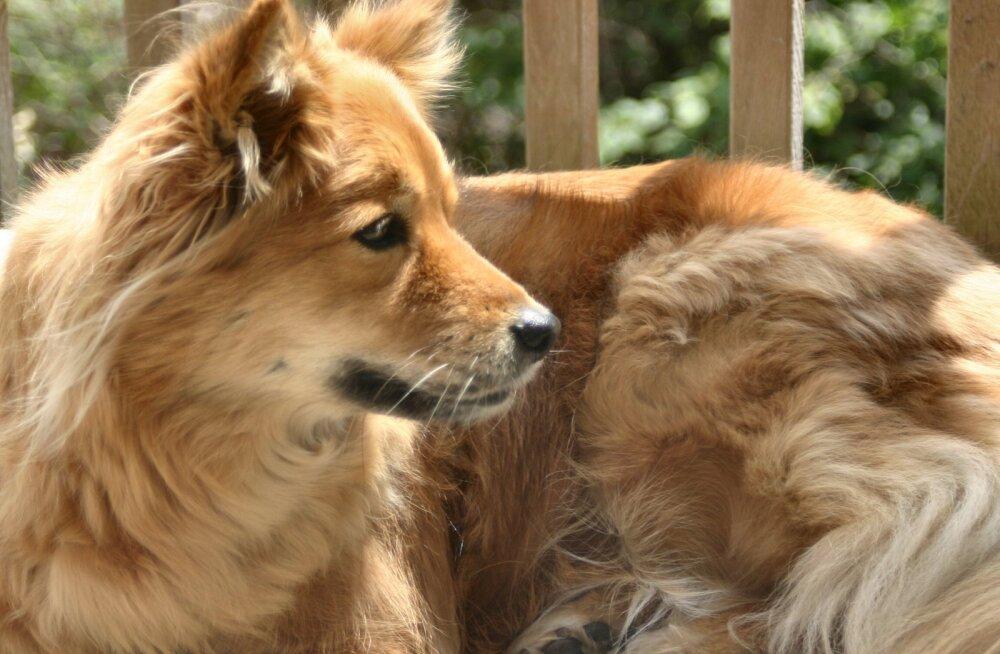 Timmu lugu: hüljatud koerast targaks peresõbraks