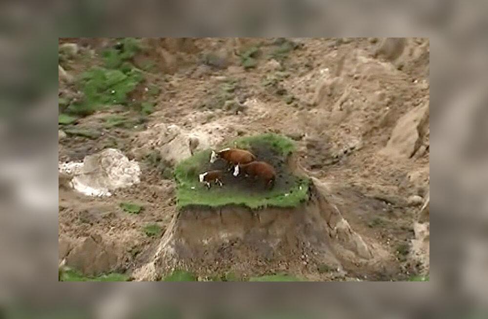 """Коров спасли с """"острова"""" после землетрясения в Новой Зеландии"""