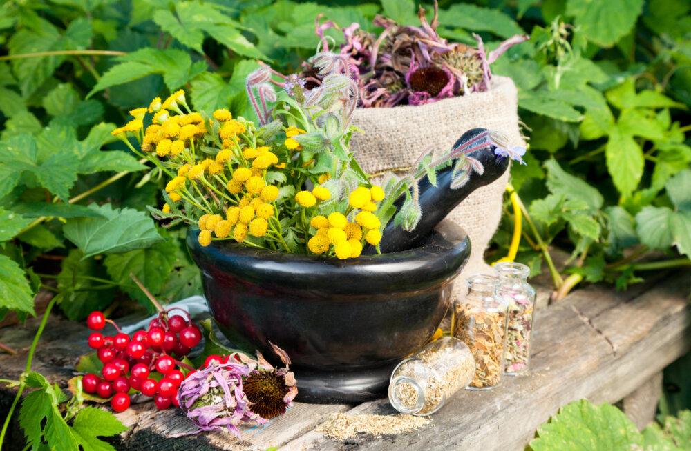 Kas Eestis kasvavate taimedega on võimalik vähki ravida?
